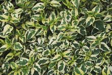 Variegated Leaves Of Asystasia...