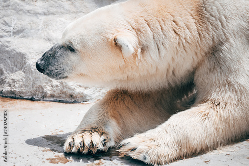 Tuinposter Ijsbeer lazy polar bear resting at zoo
