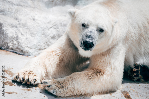 Fotobehang Ijsbeer lazy polar bear resting at zoo