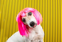 Curious Dog Face. Adorable Fashionable Silly Dog Face. Pink Wig And Yellow And Black Background. Funny Emotions