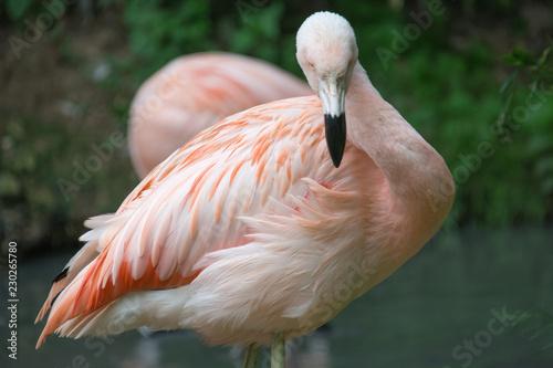 Spoed Foto op Canvas Flamingo fenicottero rosa attento