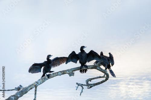 Obraz na plátne Cormorant wetland birds, Sri Lanka