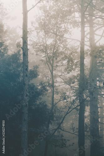 Jesień las, jodły na mgle, naturalny tło