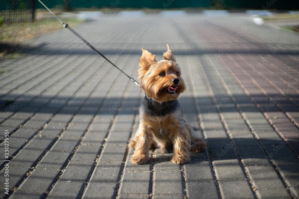 Fototapety, obrazy: yorkshire terrier for a walk