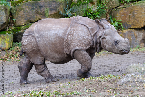 Indian Rhinoceros with young