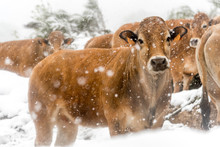 Herd Of Cows In The Snow In Bl...