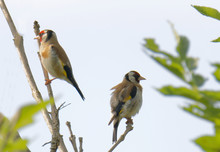 Two Colorful Male Goldfinch Bird Sitting In A Ash Tree  (latin: Spinus Tristis)