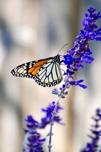 Monarch Butterfly On Mealy Blu...