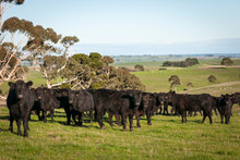 COW AUSTRALIA