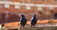 A Pair Of Black And White Pigeons On A Background Of A Brick Wall