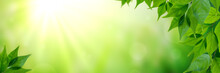 Panorama Of Fresh Green Leaves And Sunlight