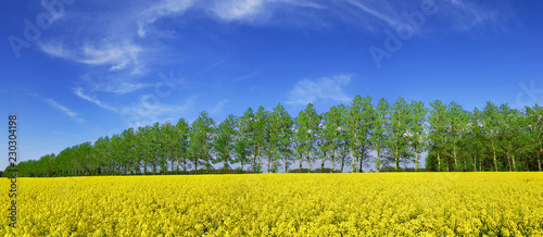 Spring view, row of green trees among rape fields