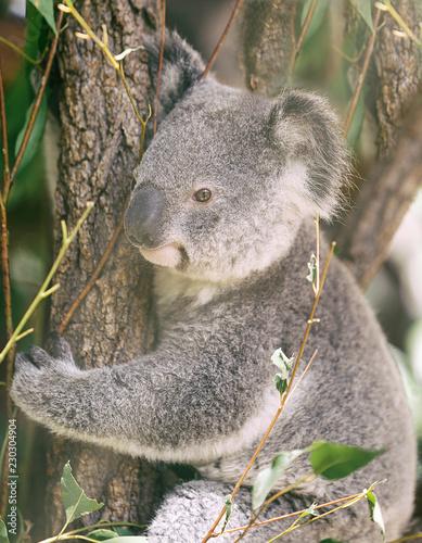 Koala III, Australia