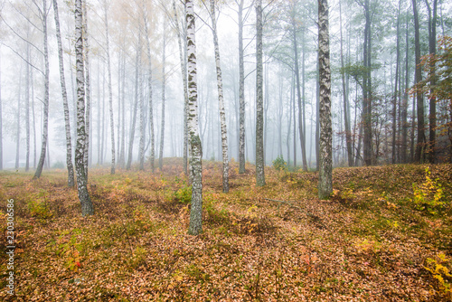 Foto auf Acrylglas Wald im Nebel A morning fog in the forest, green and golden leaves, birch trees close-up, Latvia