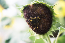 A Close Up Of Giant Slightly Wilted Sunflower In The Hot Summer Heat