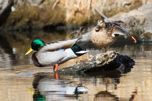 Mating Pair Of Mallards In A S...