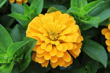 A Color Image Of A Yellow Chry...