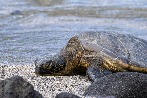 Cadres-photo bureau Tortue Close of up green sea turtle on beach. Eyes closed. Next to black rock. Water in background.