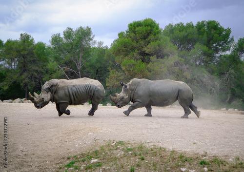Rhinocéros qui courent