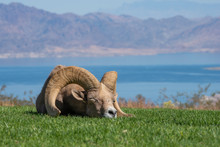 Bighorn Sheep Napping In The G...