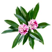 Daphne Odora Flowers Isolated