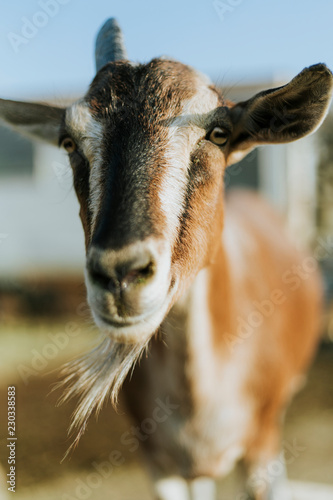 Rescued goat, The Sanctuary at Soledad, Mojave