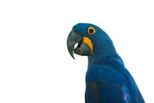 Closeup Hyacinthine Macaw Isol...