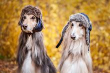 Two Stylish Afghan Hounds, Dog...