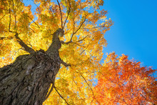 Upward View Of A Large Maple Trees With Bright Orange And Golden Yellow Autumn Foliage Leaves Against Blue Sky.