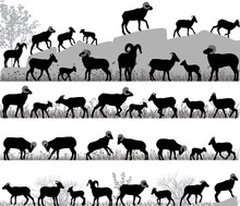 Silhouettes Of Bighorn Sheeps,...
