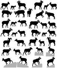 Collection Of Silhouettes Of Bighorn Sheeps, Rams And Lambs
