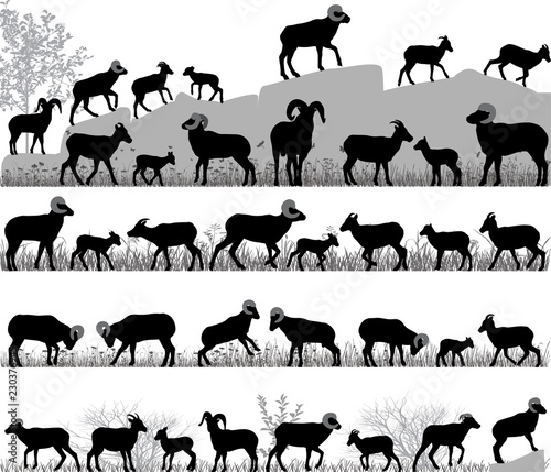 Photo Silhouettes of bighorn sheeps, rams and lambs outdoors