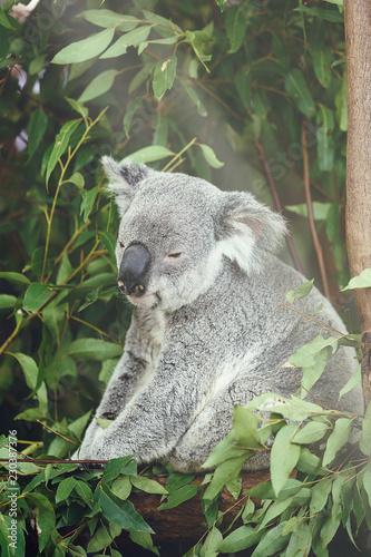 In de dag Koala koala IV, brisbane