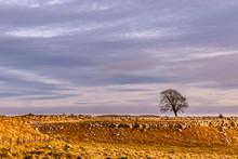 Lone Tree In Winter On Limestone Pavement Ridge, Yorkshire Dales National Park, UK