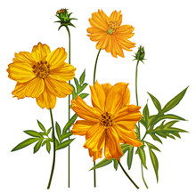 Yellow Cosmos Flowers Vector Illustration