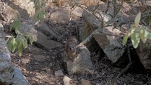 African Rocky Hyrax Cautiously Running Toward The Camera To Beg Food