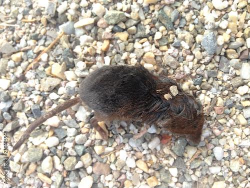 Fotografie, Obraz  Kleine Spitzmaus, Feldspitzmaus, liegt tot auf einem Schotterweg
