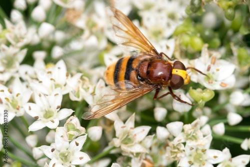 Hornissenschwebfliege (Volucella zonaria), blühender Knoblauch-Schnittlauch, Knolau (Allium tuberosum), Niedersachsen, Deutschland, Europa