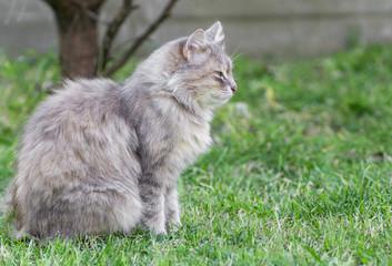 Naklejka na ściany i meble grey cat on green grass