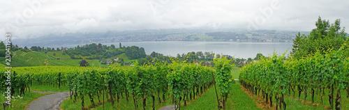 Fotografia  Weinanbau am Zürichsee/ Weinanbau am Zürichsee, Landschaft in der Schweiz, Weinb