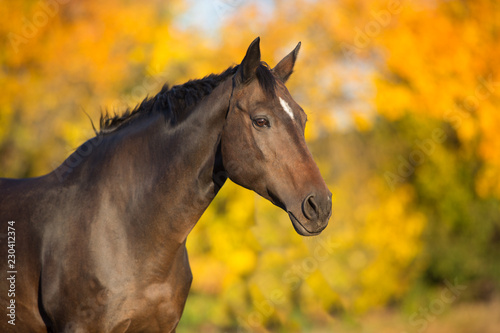 Foto op Canvas Paarden Bay stallion in fall park