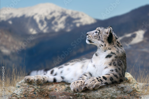 Snow leopard lay on a rock against snow mountain landscape Poster Mural XXL