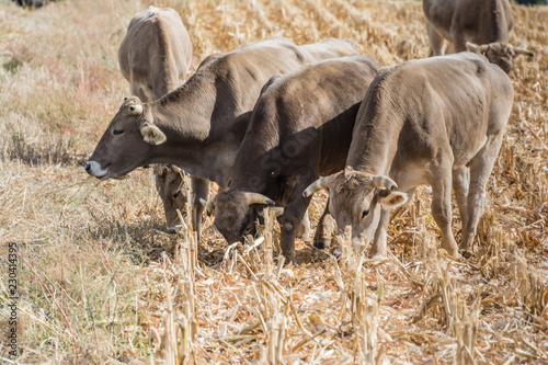 Fotografía  Group of cattle grazing in a field of harvested corn