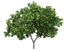 Common Fig Tree Isolated On Wh...