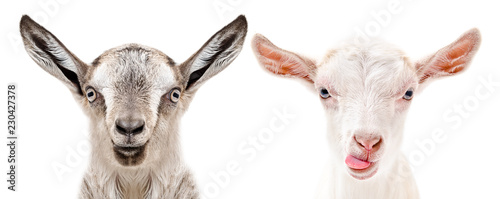 Portrait of a serious and cheerful goats, isolated on white background