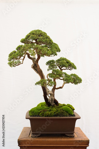 bonsai tree isolated on white background. Japanese TRAY PLANTING or JAPANESE ART. nature concept