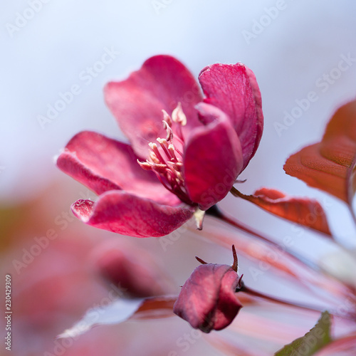 beautiful bright burgundy apple flower blooming in the spring sunny garden