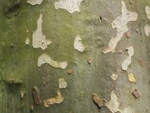 Platanus Tree Bark Background ...