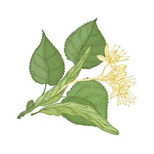 Gorgeous Botanical Drawing Of Linden Sprig With Leaves And Tender Blooming Flowers. Gorgeous Plant Hand Drawn On White Background. Decorative Design Element. Natural Realistic Vector Illustration.