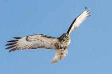 Red-Tailed Hawk In Flight With...